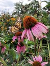 Monarch Butterfly on a Pink Coneflower Royalty Free Stock Photo