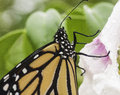 Monarch Butterfly on Pink and White Flower Royalty Free Stock Photo