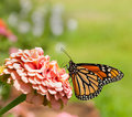 Monarch butterfly on pink Zinnia Stock Images