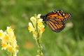 Monarch Butterfly Profile On Y...