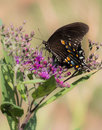 Monarch butterfly on a purple flower Royalty Free Stock Photo