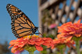Monarch butterfly refueling Royalty Free Stock Images