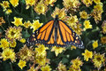 Monarch butterfly resting on yellow flowers Stock Photos