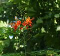 A Monarch Butterfly Rests on Hawaiian Flowers Royalty Free Stock Photo