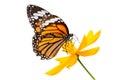 Monarch Butterfly Seeking Nect...