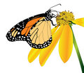 Monarch butterfly-side view
