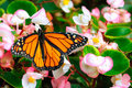Monarch butterfly sitting on the flower Royalty Free Stock Photo