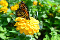 Monarch Butterfly on the sunflower Royalty Free Stock Photo