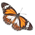 Monarch butterfly on white background Royalty Free Stock Photography