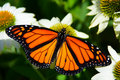Monarch butterfly on white cone flowers Royalty Free Stock Photo