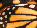 Monarch butterfly wing macro super of a showing a close up of the scales and veins Royalty Free Stock Photography