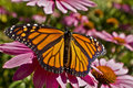 Monarch butterfly wings spread on Echinacea flower close up Royalty Free Stock Photo