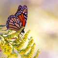 Monarch butterfly on yellow flower beautiful a Stock Image