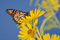 Monarch butterfly yellow flower danaus plexippus Stock Photos