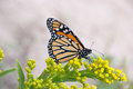 Monarch butterly butterfly female perched on yellow flower blossoms Royalty Free Stock Image