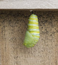 Monarch Caterpillar Becoming Chrysalis Royalty Free Stock Photo