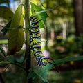 Monarch Caterpillar Feeding 3 Royalty Free Stock Photo