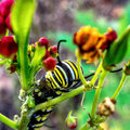 Monarch Caterpillar Feeding 1 Royalty Free Stock Photo