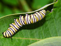Monarch caterpillar in illinois butterfly feeds on milkweed Stock Photography