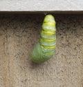 Monarch Caterpillar Metamorphosis Royalty Free Stock Photo
