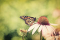Monarch on cone flower - Retro Royalty Free Stock Photo