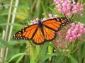 Monarch on  Milkweed Stock Photo