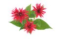 Monarda bouquet Stock Photography