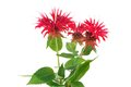Monarda flower Stock Images