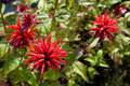 Monarda flowers Royalty Free Stock Image