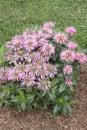 Monarda pardon my pink flowered plant Stock Image