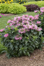 Monarda pardon my pink flowered plant Royalty Free Stock Photography