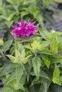 Monarda pardon my purple pink flower of Stock Photos