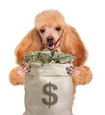 Money dog holding. Royalty Free Stock Photography