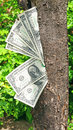 Money dollars tree one on a Stock Photography