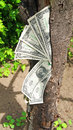 Money dollars tree one on a Royalty Free Stock Image