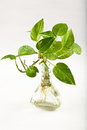 Money plant in water Royalty Free Stock Photo