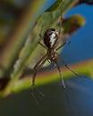 Money spider, Linyphia triangularis Royalty Free Stock Photo