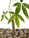 Peniaze strom