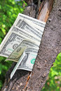 Money tree amreican dollars with Royalty Free Stock Photo