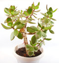 Money tree (crassula plant) Royalty Free Stock Image