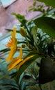 Money tree fortune plant yellow flower Royalty Free Stock Photo