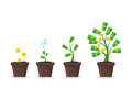 Money Tree Growing in Pot. Vector