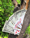 Money tree and playing cards dollars Royalty Free Stock Images