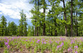 Mongolia s northern forests bright purple lupine lay before the of Stock Photos