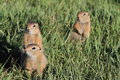 Mongolian Prairie Dogs Royalty Free Stock Photos