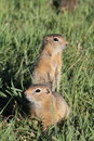 Mongolian Prairie Dogs Royalty Free Stock Images
