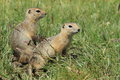 Mongolian prairie dogs few in the grass Royalty Free Stock Images