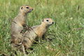 Mongolian prairie dogs in the grassland Stock Photography