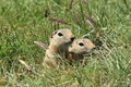 Mongolian prairie dogs in the grassland Royalty Free Stock Photos