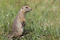 Mongolian prairie dogs in the grassland Royalty Free Stock Images